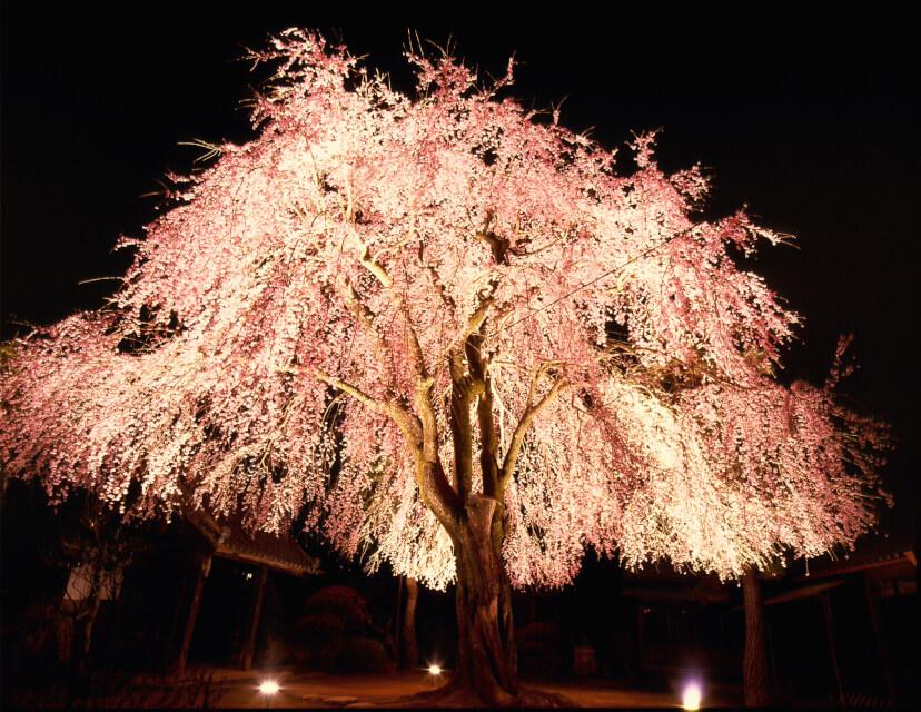増泉寺の桜ライトアップ